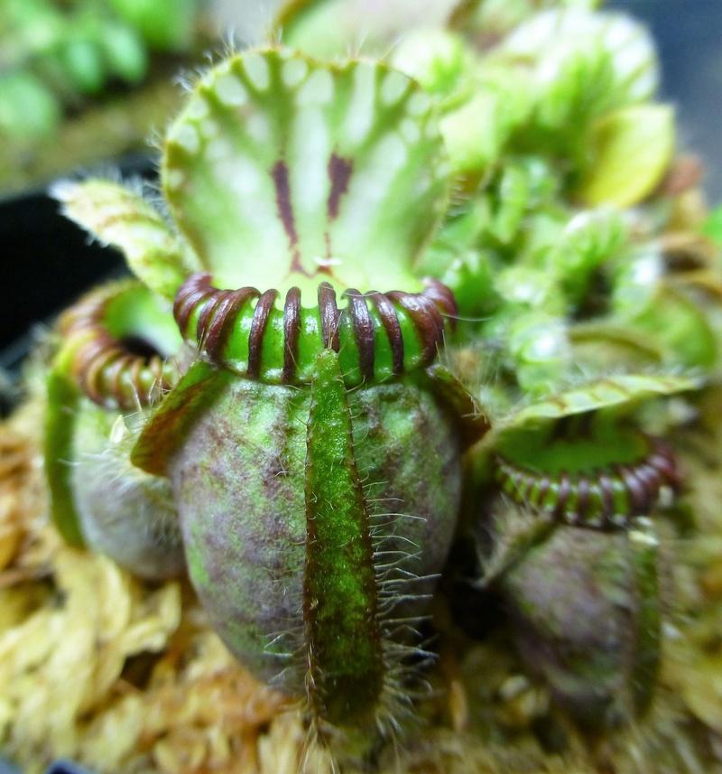 photos de céphalotus - Page 4 P1020512