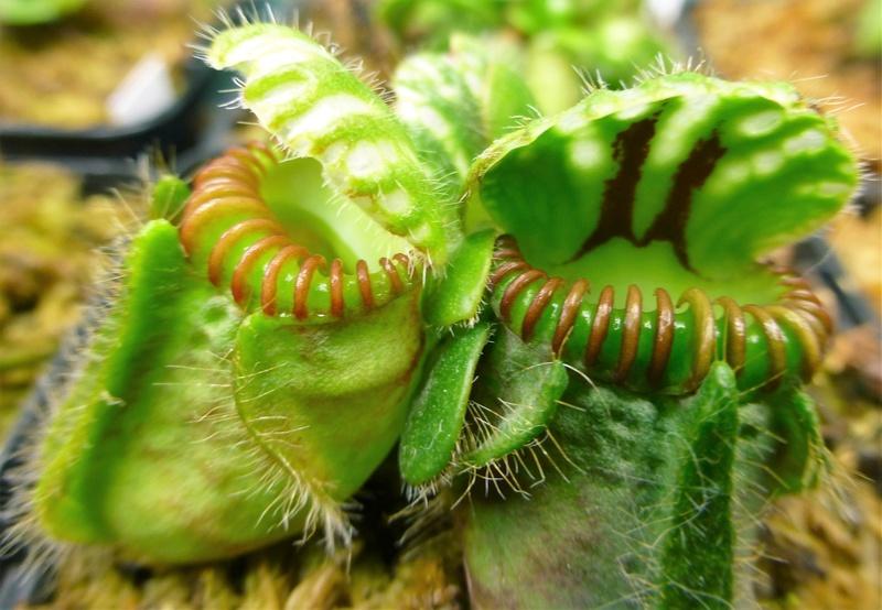 photos de céphalotus - Page 3 P1020513