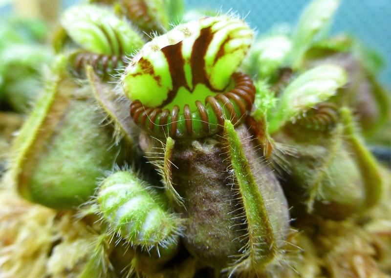 photos de céphalotus - Page 3 P1020515