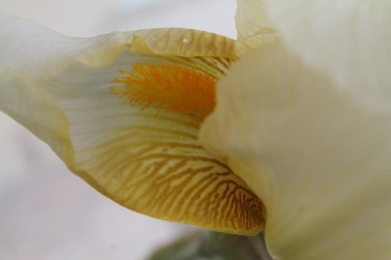 Floraisons 2016 de nos grands iris barbus et Bilan - Page 9 Img_3414