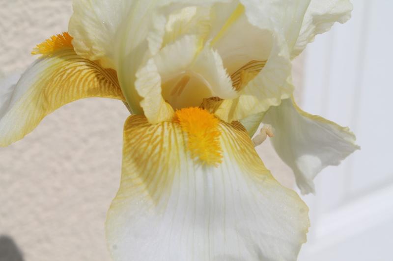 Floraisons 2016 de nos grands iris barbus et Bilan - Page 9 Img_3416