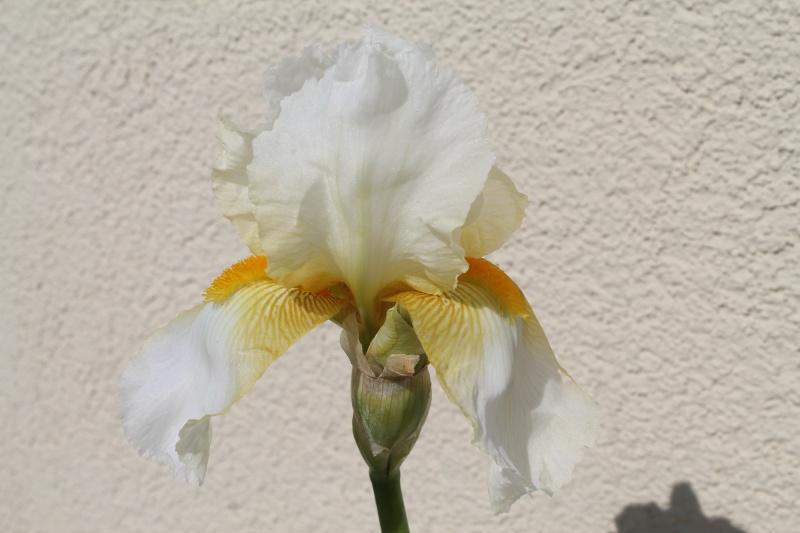 Floraisons 2016 de nos grands iris barbus et Bilan - Page 9 Img_3417
