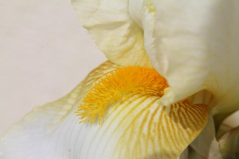 Floraisons 2016 de nos grands iris barbus et Bilan - Page 9 Img_3418
