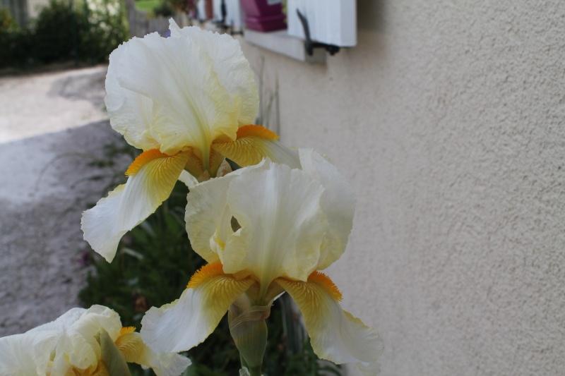 Floraisons 2016 de nos grands iris barbus et Bilan - Page 9 Img_3510