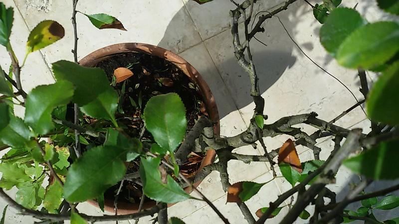 Sistemare bonsai di Chaenomaeles  - Pagina 2 20160818