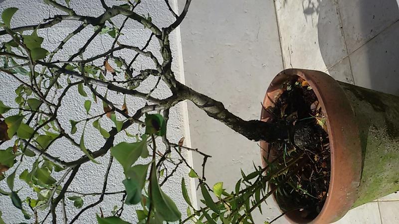 Sistemare bonsai di Chaenomaeles  - Pagina 2 20160819