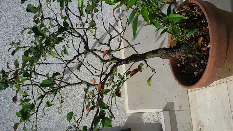 Sistemare bonsai di Chaenomaeles  - Pagina 2 20160820