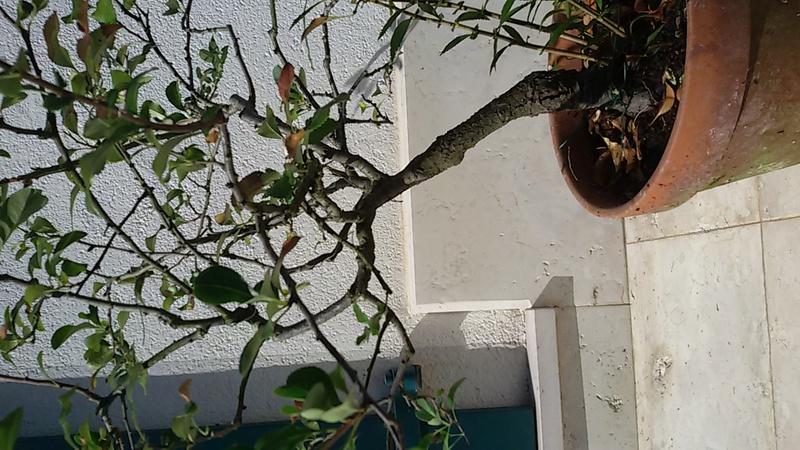 Sistemare bonsai di Chaenomaeles  - Pagina 2 20160821