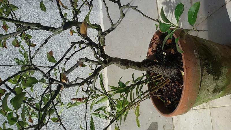 Sistemare bonsai di Chaenomaeles  - Pagina 2 20160823