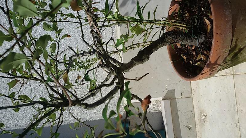 Sistemare bonsai di Chaenomaeles  - Pagina 2 20160824