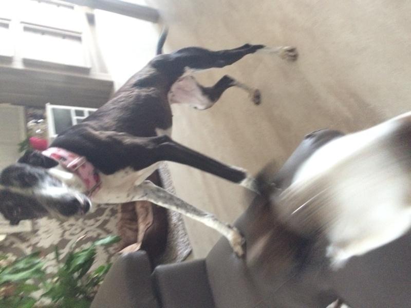 Alina douce galga noire et blanche, 10 ans Scooby France Adoptée - Page 4 Image22