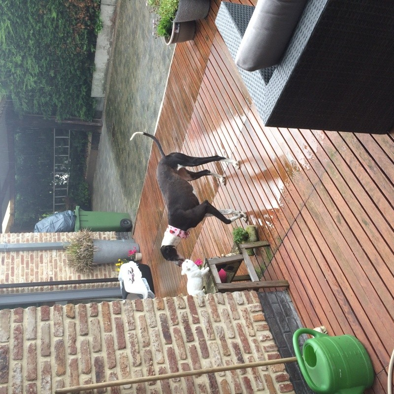 Alina douce galga noire et blanche, 10 ans Scooby France Adoptée - Page 4 Image23