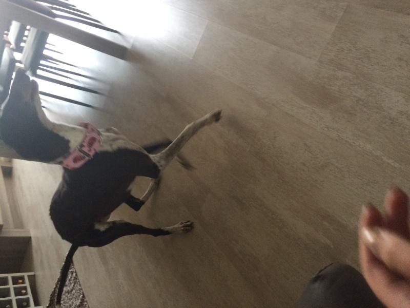 Alina douce galga noire et blanche, 10 ans Scooby France Adoptée - Page 4 Image25
