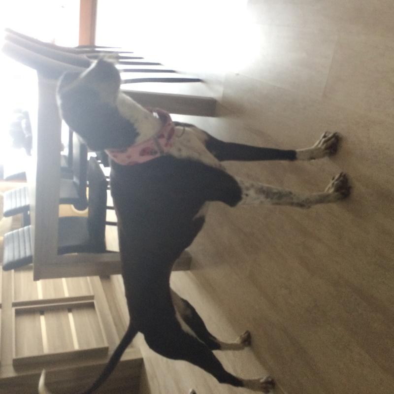 Alina douce galga noire et blanche, 10 ans Scooby France Adoptée - Page 4 Image26
