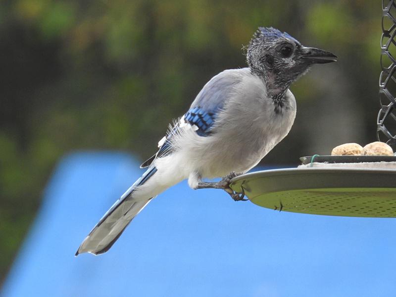 Geai bleu en mue Image45