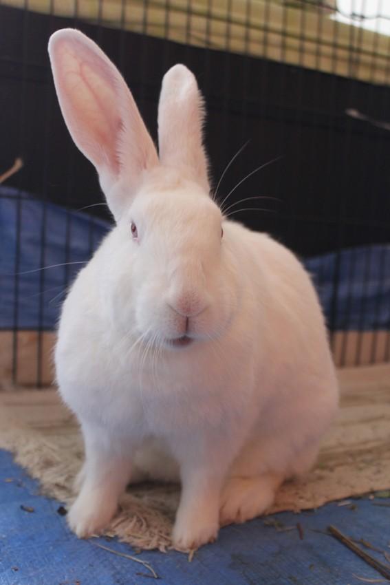 [ADOPTEE] Acacia, lapine de laboratoire à adopter 10110