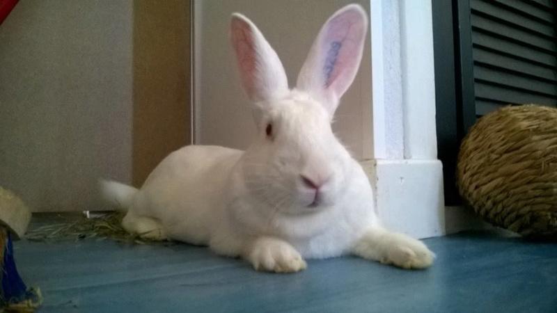 [ADOPTE] Berlioz, jeune lapin de laboratoire à adopter 13592510