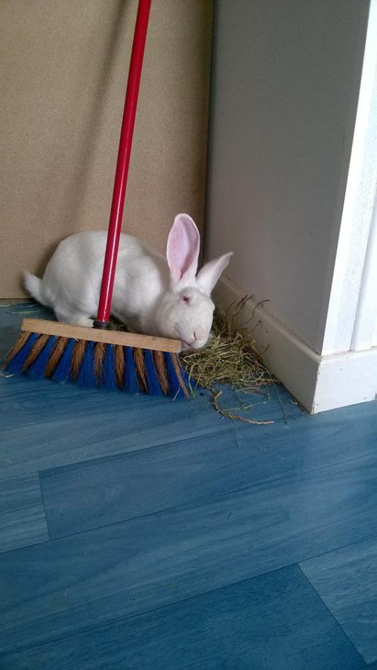 [ADOPTE] Berlioz, jeune lapin de laboratoire à adopter 13615410