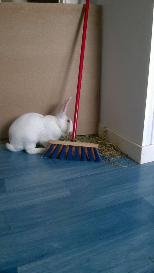 [ADOPTE] Berlioz, jeune lapin de laboratoire à adopter 13626910