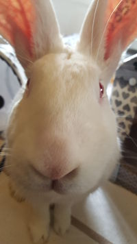 [ADOPTE] Bambou, jeune lapin de laboratoire 20393710
