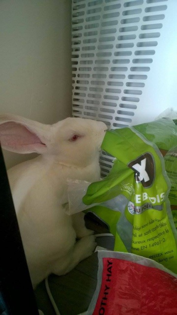 [ADOPTE] Berlioz, jeune lapin de laboratoire à adopter 81970911