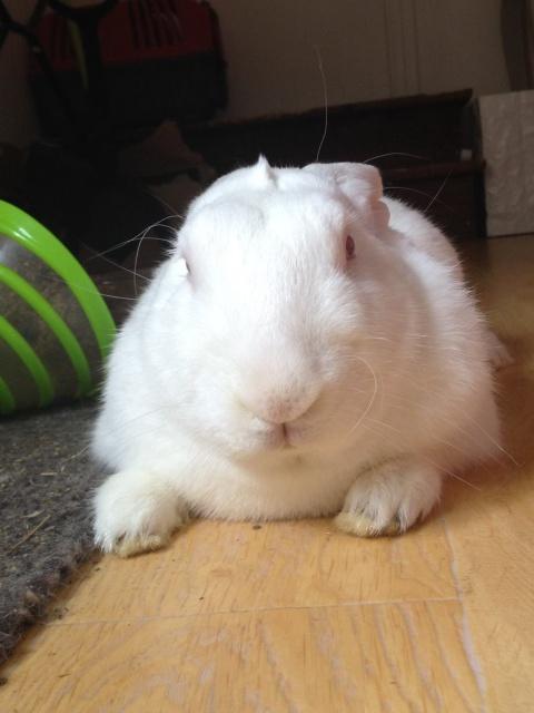 [ADOPTE] Buck, jeune lapin de laboratoire à adopter 89467210