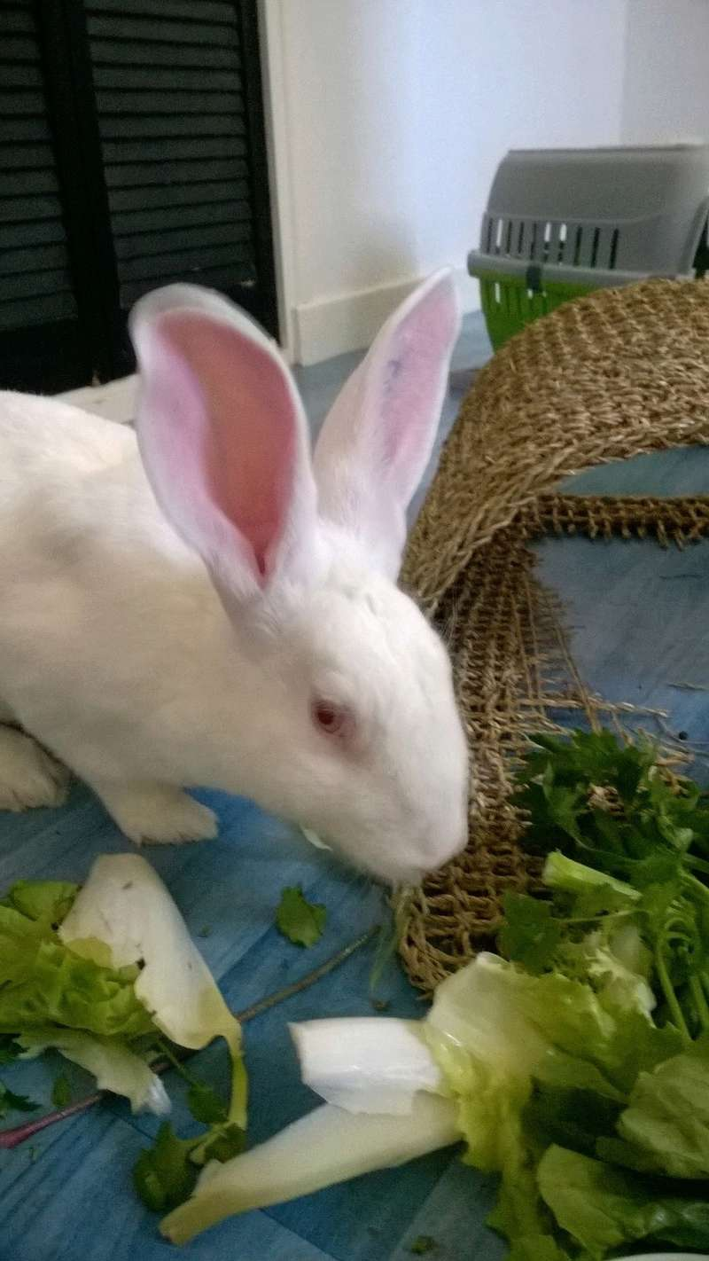 [ADOPTE] Berlioz, jeune lapin de laboratoire à adopter Berlio12