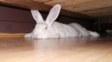 [ADOPTEE] Acacia, lapine de laboratoire à adopter Img_1410