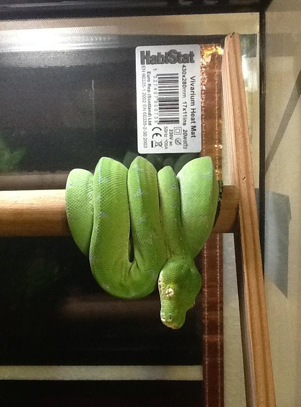 morelia viridis Image10