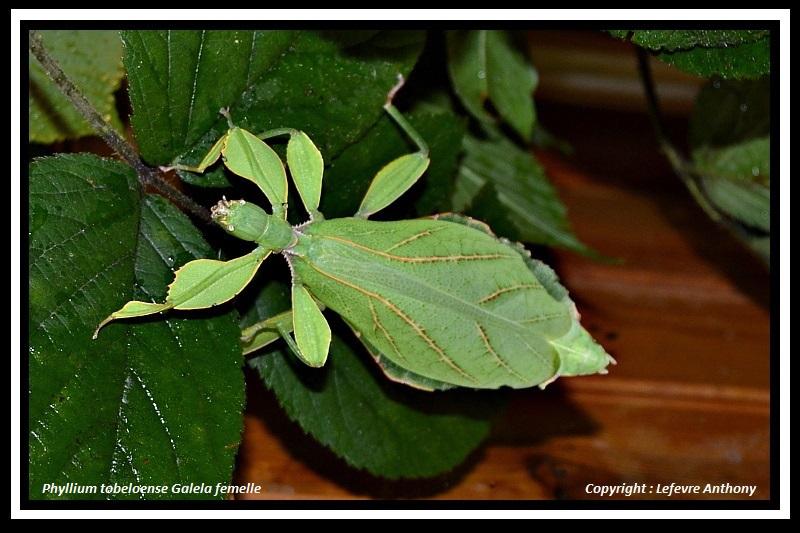 "Phyllium tobeloense ""Galela"" (P.S.G n° ???) Phylli22"