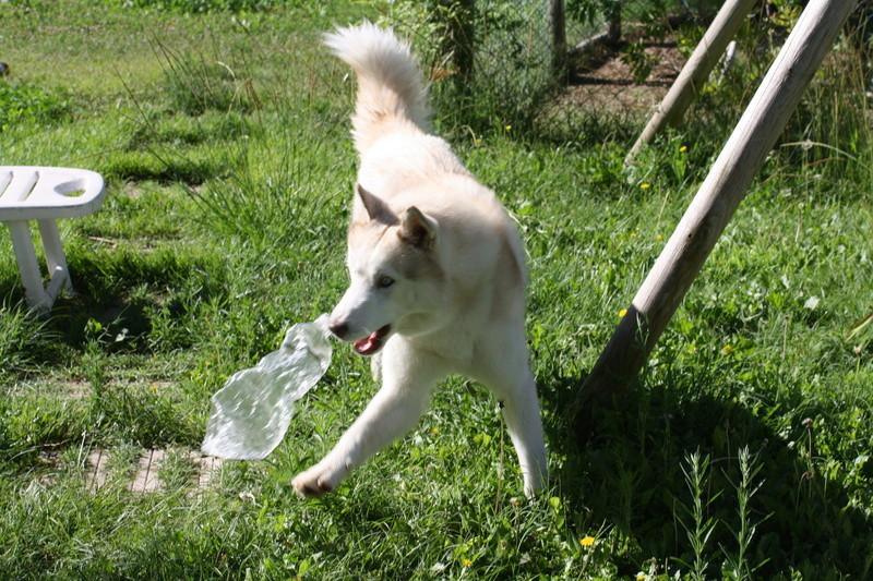 Lo-Jack Alias Ghost (Sibirian husky) - Page 4 Img_4514