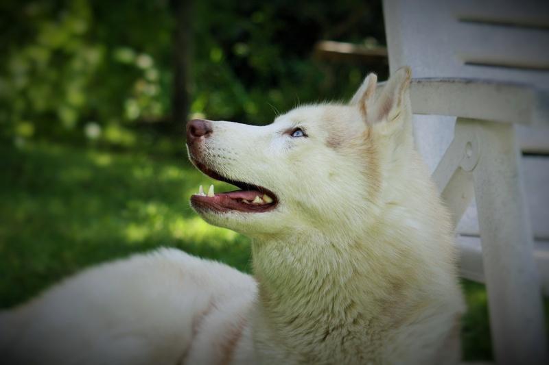 Lo-Jack Alias Ghost (Sibirian husky) - Page 4 Img_4610
