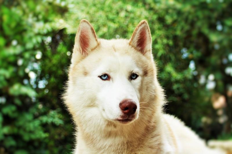 Lo-Jack Alias Ghost (Sibirian husky) - Page 4 Img_4615