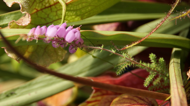 identification de plante Dsc03813