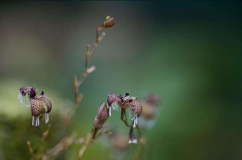 Stelis (Pleurothallis) ornata Stelis12
