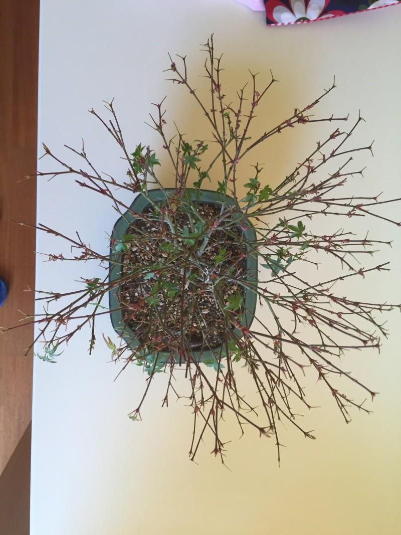 Piccolo acero kiyohime con foglie secche Img_2910