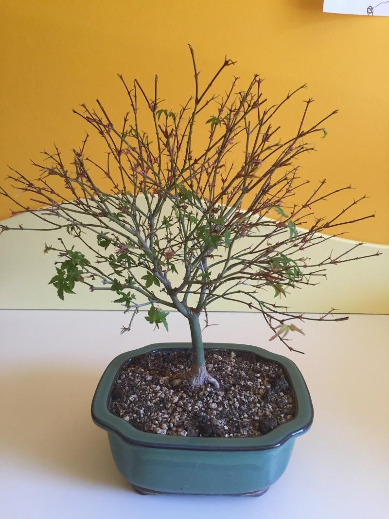 Piccolo acero kiyohime con foglie secche Img_2911