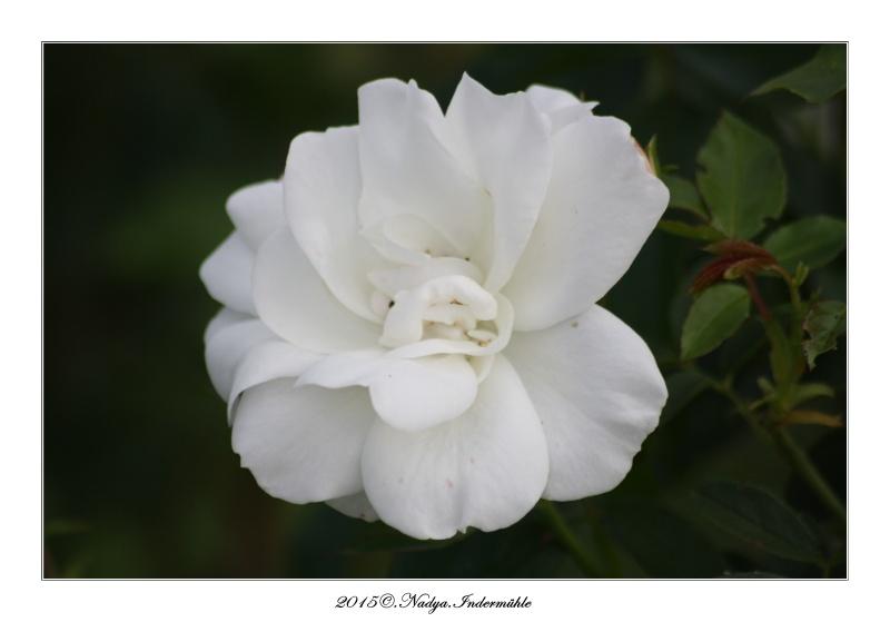 Les roses. Cadrer79