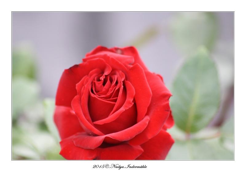 Les roses. Cadrer80