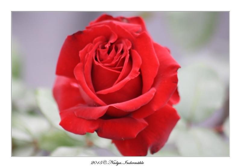 Les roses. Cadrer81