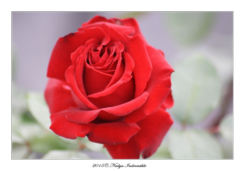 Les roses. Cadrer82