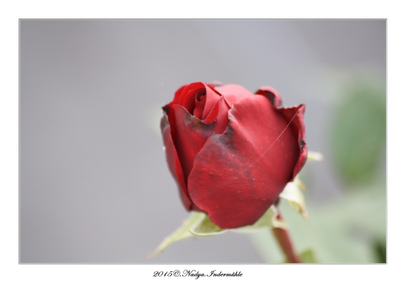 Les roses. Cadrer83