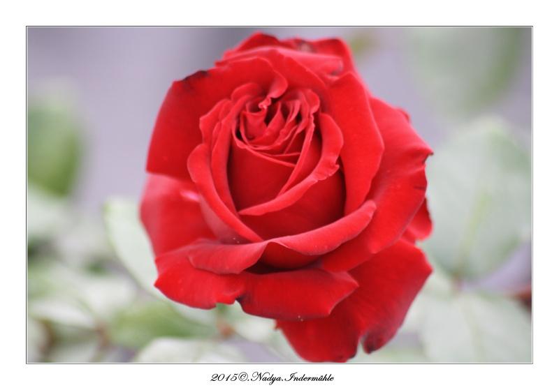 Les roses. Cadrer84