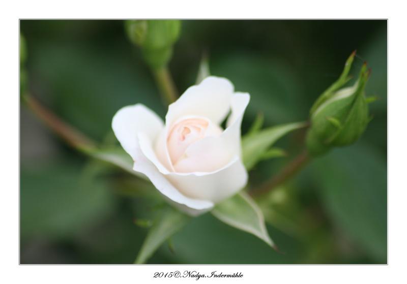 Les roses. Cadrer85