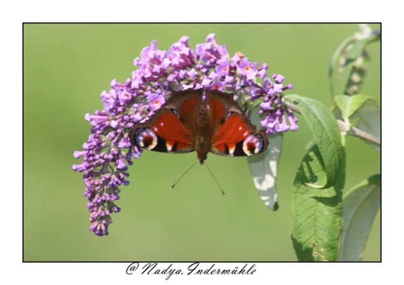 Le PAON du JOUR (Inachis io) ! (Lépidoptère Nymphalidae) Cadri134