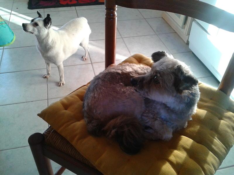 EXQUISE petite chihuahua .. Iza510