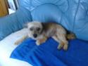 EXQUISE petite chihuahua .. Iza210
