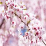 Quand le vent glacé raconte l'ombre de la nuit… Sakura10
