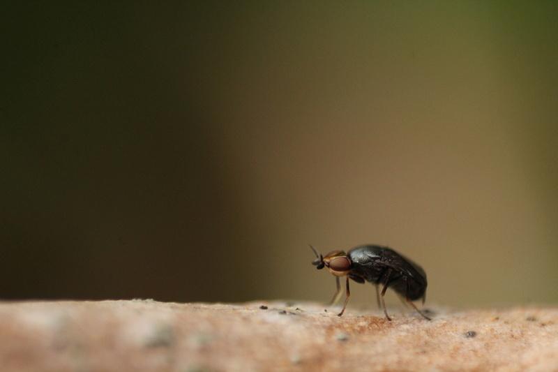 [Camarota curvipennis] Tout petit Img_4911
