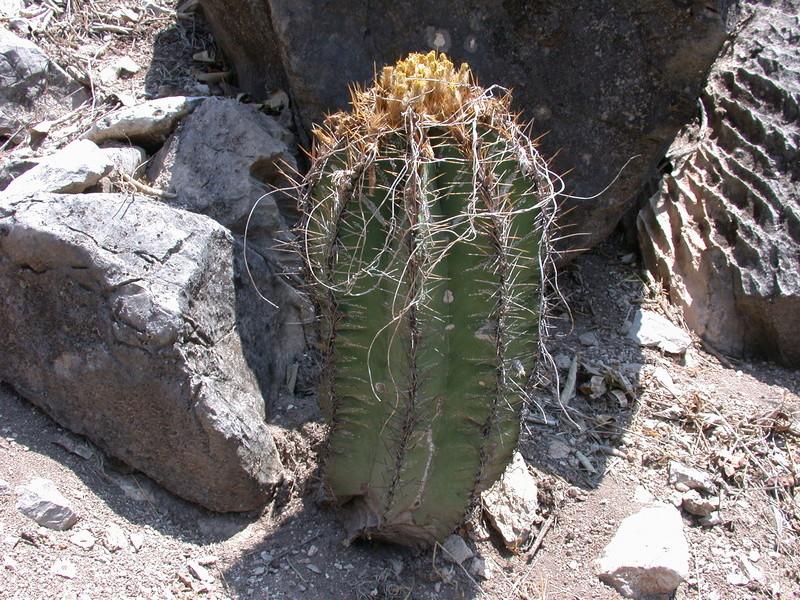 Astrophytum ornatum Dscn2811